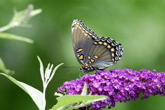Butterfly. A red-spotted purple butterfly on purple flowers Royalty Free Stock Images
