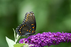 Butterfly. A red-spotted purple butterfly on purple flowers Stock Images
