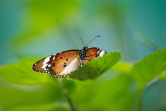 Butterfly. A tropical butterly on the flowers. This butterfly can be seen anywhere in Malaysian's rainforest Royalty Free Stock Photography
