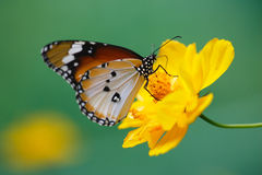 Butterfly on yellow daisy flower Royalty Free Stock Photo