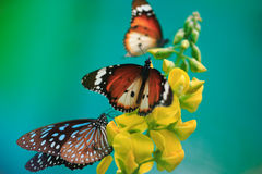 Butterflies with yellow flower on turqoise backgro Royalty Free Stock Photography