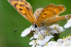 Butterfly. On flowers. Late afternoon on natural grassland Royalty Free Stock Image