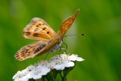 Butterfly. On flowers. Late afternoon on natural grassland Stock Photos