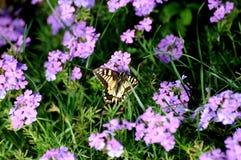Butterfly. On purple flowers in a garden stock photo