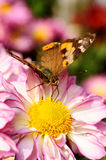Butterfly. Beautiful large monarch butterfly drinking nectar of pink daisy Stock Images