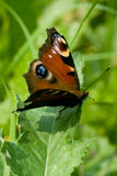 Butterfly. With spread wings resting on the green leaf Stock Photography