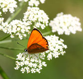 Butterfly. Orange butterfly sitting on white flower in the summer meadow Stock Image