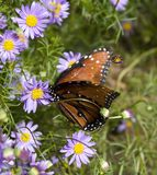 Butterfly. Perched on flower in garden royalty free stock images