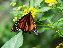 Butterfly. Monarch butterfly on yellow flowers stock images