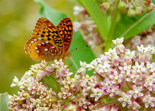 Butterfly. A great Spangled Frillary Butterfly nectaring on some milkweed Royalty Free Stock Image