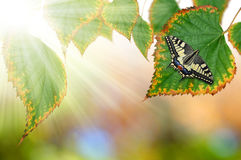 Butterfly. Sitting on autumn leaves Royalty Free Stock Image