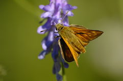 Butterfly. Brown butterfly on blue bloom royalty free stock images