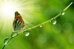 Butterfly. Fresh morning dew and butterfly Stock Image