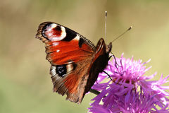 Butterfly. Ortoise-shell butterfly (Inachis io Royalty Free Stock Photography