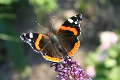 Butterfly. On the Flower,Admiral,Vanessa atalanta Royalty Free Stock Photography