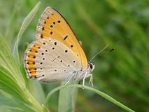 Butterfly. This a butterfly have very big wallop  in visually Royalty Free Stock Photo