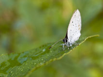 Butterfly. This a butterfly have very big wallop  in visually Royalty Free Stock Images