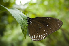 Butterfly. A Butterfly perched on a leaf Royalty Free Stock Photo