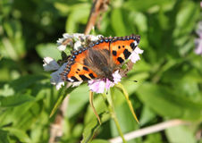 Butterfly. Bright Butterfly sitting  on flowers Royalty Free Stock Photography