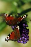 Butterfly. On buddleja davidii flower Stock Photography