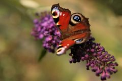 Butterfly. With buddleja davidii flowers Royalty Free Stock Photo