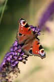 Butterfly. With buddleja davidii flowers Royalty Free Stock Photos