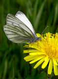 Butterfly. On a dandelion Royalty Free Stock Photos