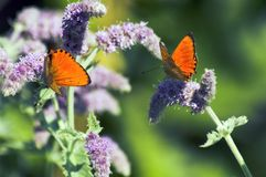 Butterfly. Lycaena thersamon with peppermint at the mountains Stock Images