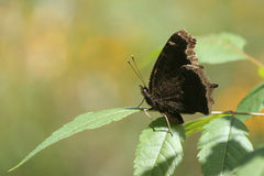 Butterfly. Dark Butterfly or Mourning Cloak Stock Photo
