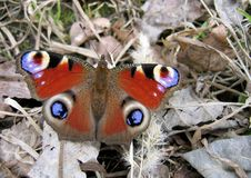 Butterfly. Beautiful butterfly on dry foliage stock photography