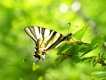 Butterfly. Yellow butterfly on branch with green sheet Royalty Free Stock Photos