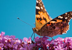 Free Butterfly Royalty Free Stock Photo - 13611165