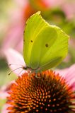 Butterfly. Butter fli in nature scene. Macro Royalty Free Stock Photo