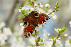 Butterfly. Beautiful butterfly on plum flowers Royalty Free Stock Photo