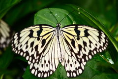 Butterfly. A butterfly is any of several groups of mainly day-flying insects of the order Lepidoptera, the butterflies and moths. Like other holometabolous Royalty Free Stock Photography