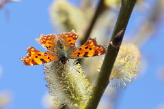 Butterfly. Nettle-rash in flourishing willow Stock Images