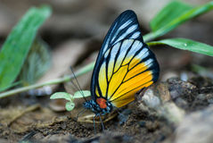 The butterfly. Beautiful betterfly in Kaeng Kra Chan national park at Thailand Stock Image