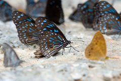 The butterfly Royalty Free Stock Image