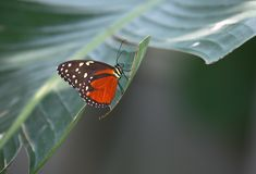 Free Butterfly Royalty Free Stock Photography - 15157567