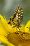 Butterfly. Close up shot of beautiful butterfly Royalty Free Stock Photos