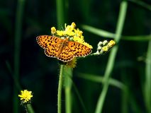Butterfly. On the yellow flower (on dark background Stock Images