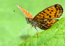 Butterfly. Sitting on green leaf Stock Photography