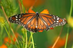 Butterfly. With spreaded wings standing on a flower Stock Photo