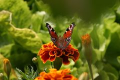 Butterfly. Sitting on a flower Royalty Free Stock Image