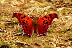 Butterfly. A beautiful butterfly that has landed on the ground stock images