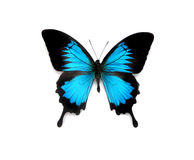 Butterfly. Portrait of a beautiful black and blue butterfly Stock Images