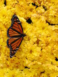 Butterfly. A Monarch butterfly on yellow flowers Stock Photography