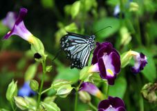 Butterfly. A lovely black and white butterfly landing on purple flowers Royalty Free Stock Photography