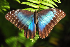 Butterfly. Blue butterfly sitting on a leaf Stock Image