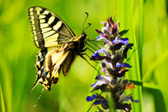 Butterfly. Swallow tail (Iphiclides podalirius) butterfly on wild blue flower over green grassy background Royalty Free Stock Photos